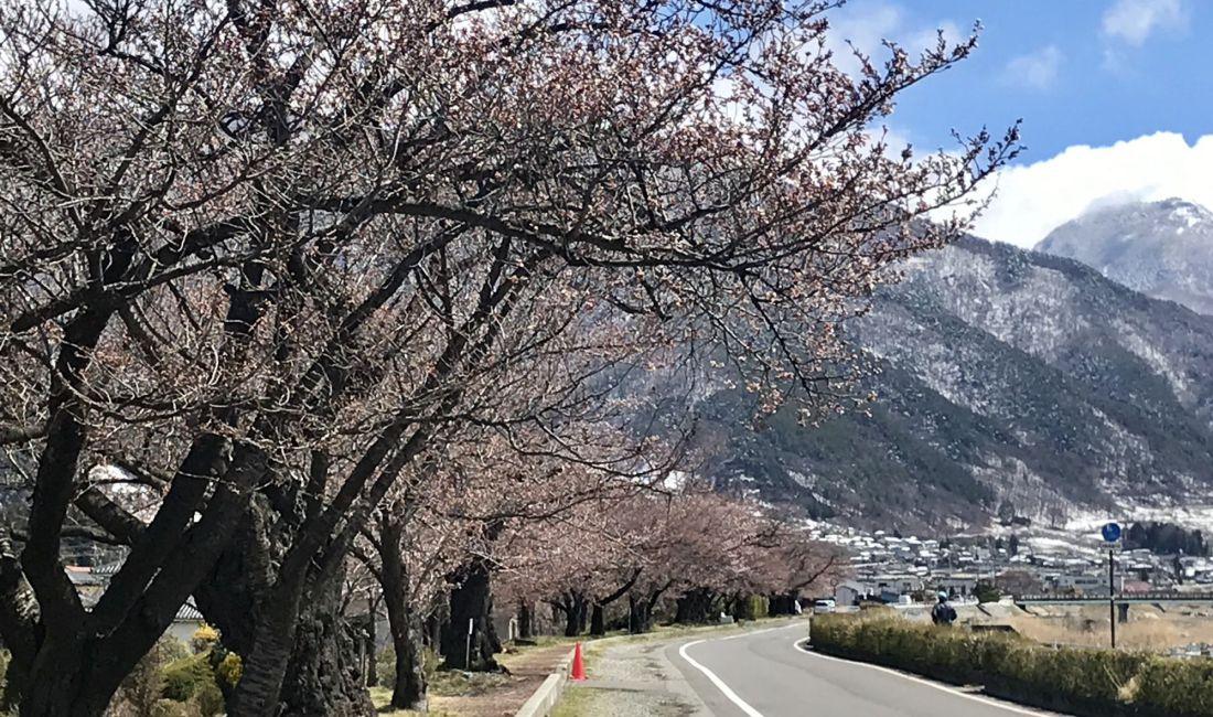 薄川堤防沿いの桜情報