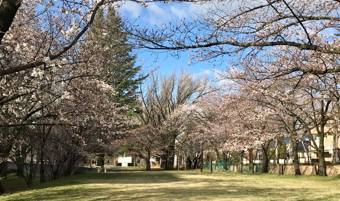 キッセイ文化ホールの桜