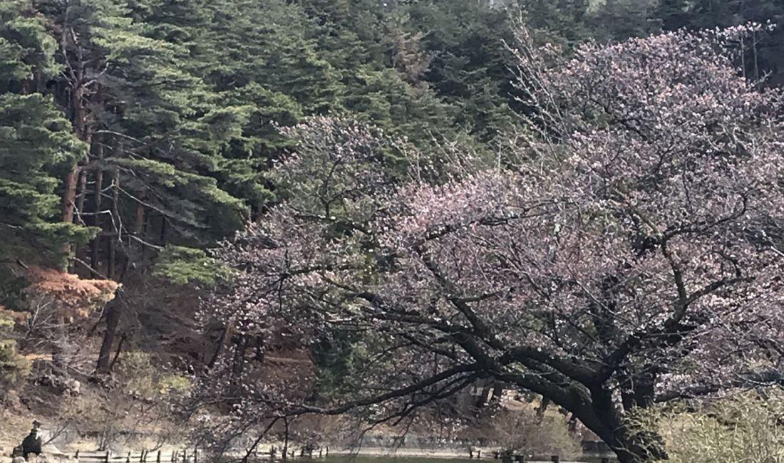 千鹿頭池の桜情報