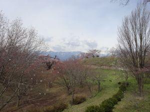 アルプス公園「泉小太郎の枝垂れ桜」