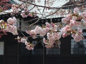 八重桜は3分咲き「歴史の里 博物館でお花見を-桜茶振る舞い」開催中!2019/04/23