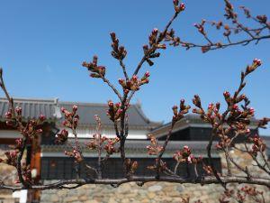 松本城標準木桜の開花状況 開花宣言はまだか!2019/04/06 9:00