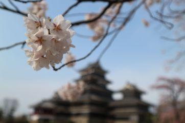 松本城コヒガンサクラ4‐6