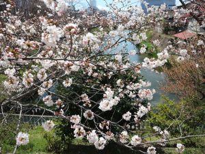 松本城総掘りソメイヨシノ見頃です!2019/04/09