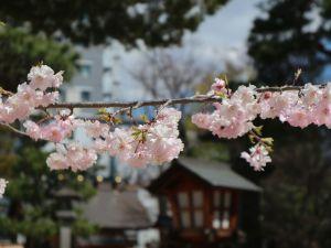 四柱神社のしだれ桜が満開になりました🌸2019/04/15