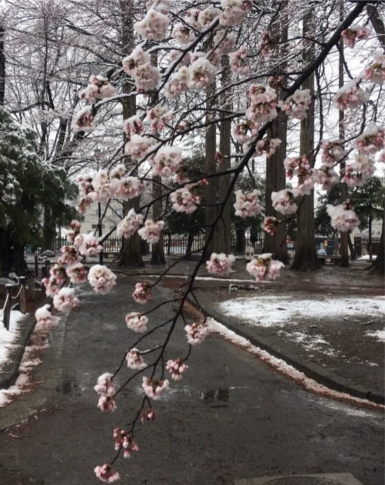 Sakura snow2