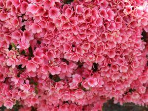 花咲くお城 国宝松本城本丸庭園は花盛り 牡丹・ツツジ・藤・コデマリ