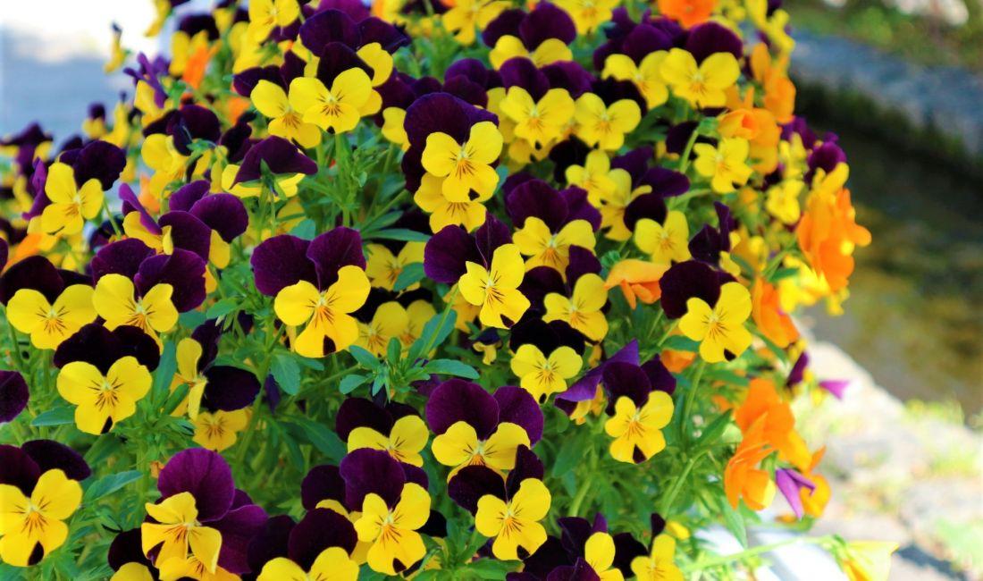 信州花フェスタサテライト会場の花とまちで見かけた五月の小さな花たち