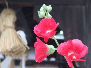 松本神社の立葵(タチアオイ)と例大祭
