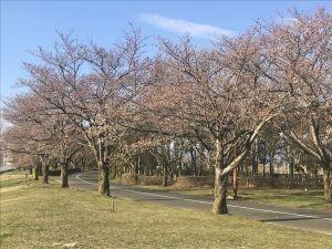 スカイパークの桜🌸