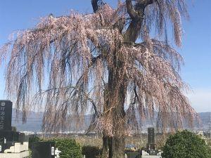 梓川北条のしだれ桜🌸