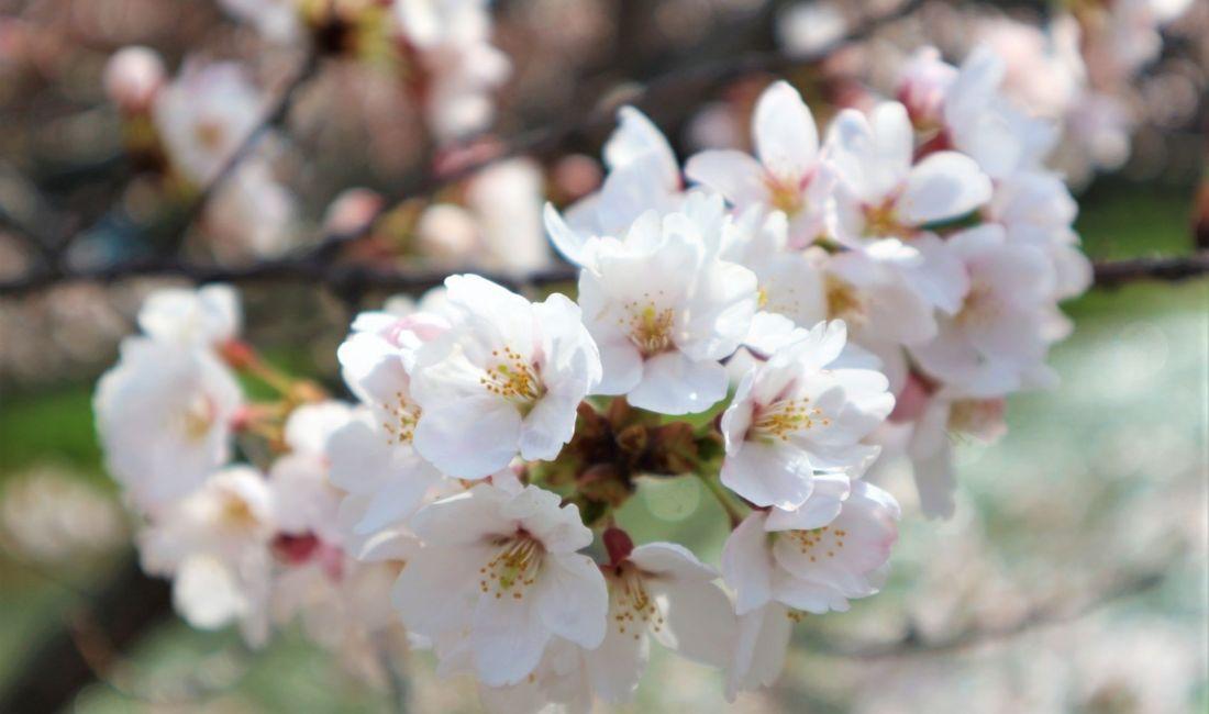 このくらいの咲き頃がとても可愛らしい女鳥羽川ソメイヨシノと・・