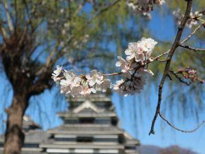 松本城公園・本丸庭園の桜🌸4月6日