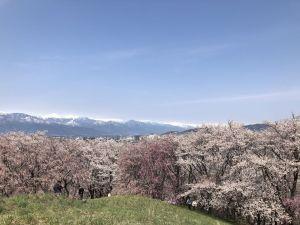 ชมซากุระและวิวเทือกเขาแอลป์ญี่ปุ่นที่ภูเขาโคโบยามะ