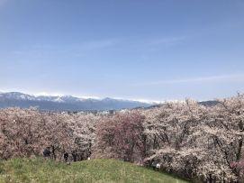 มองเห็นทั้งซากุระและวิวเทือกเขาแอลป์ญี่ปุ่น