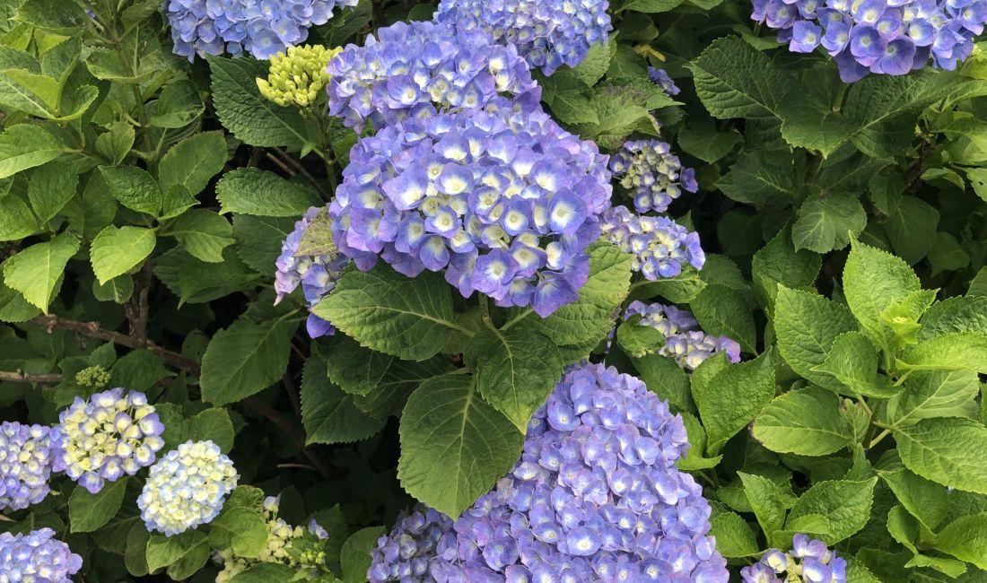 ชมดอกไฮเดรนเยีย ที่วัด Kochoji