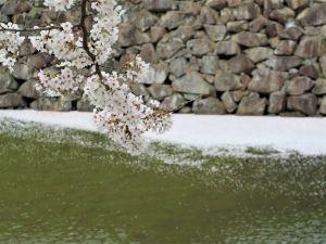 松本城外堀りに浮かぶ早すぎる「花筏」????情報 2021/04/04