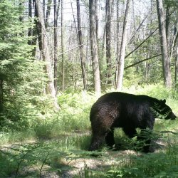 Oregon Black Bear - hibernation