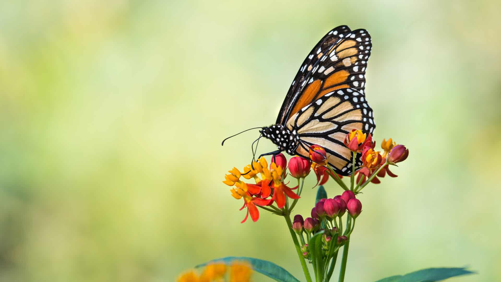 Monarch Butterfly Migration In The Smoky Mountains