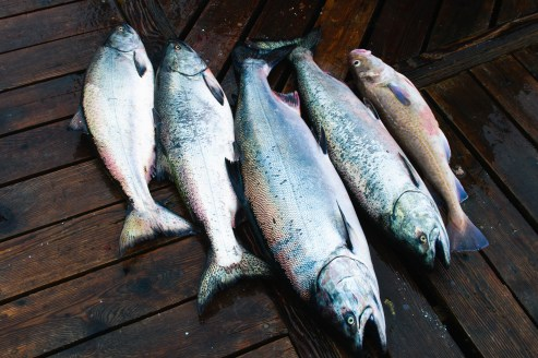 Wild Chinook Salmon caught off the coast of Vancouver Island