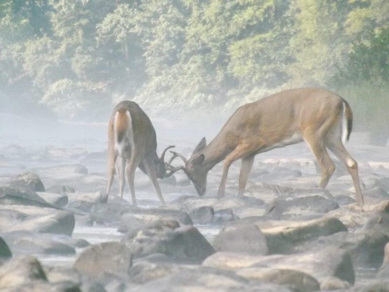 Spotlighting Deer
