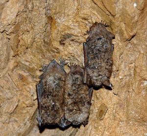 BWP Bats