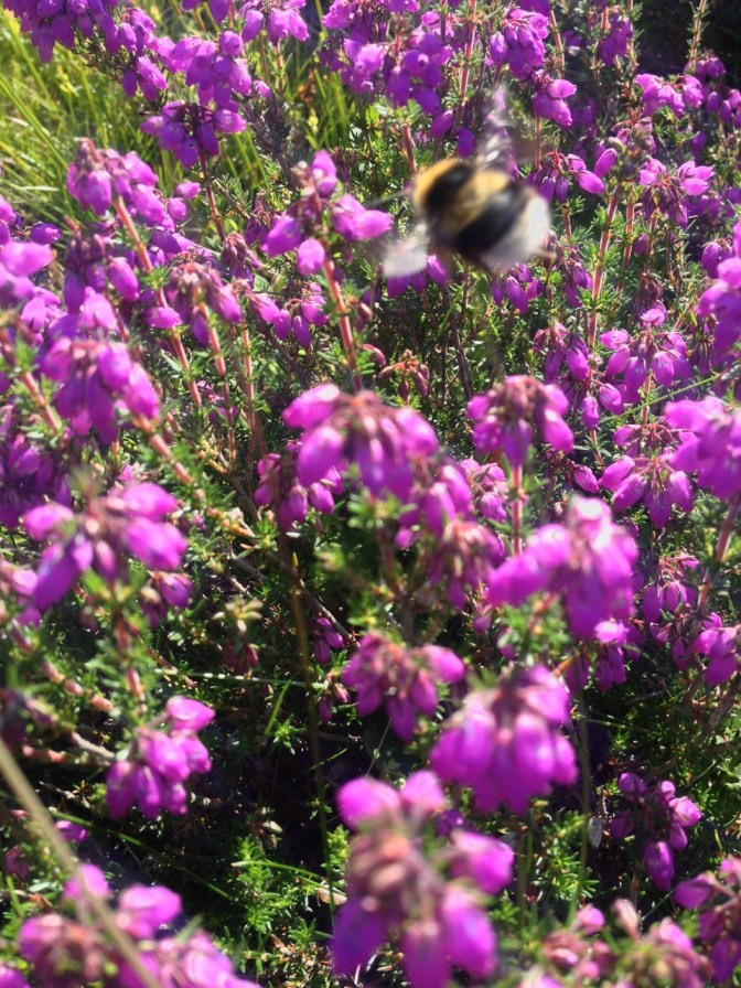 Bee in the heather