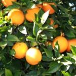 oranges-small