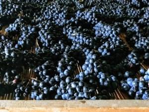 Visit Prosecco Italy Vineyards Bonotto Delle Tezze Grapes