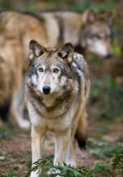 Wolf09-12-11-09
