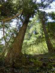 Big Trees shade the trail through a tight ravine © Craig Romano
