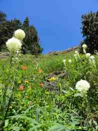 Bear grass and wildflowers along the Glacier View Trail © Craig Romano