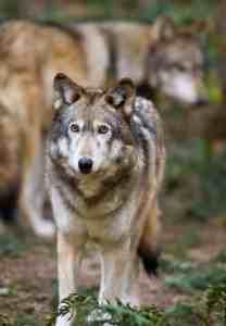 Wolves at Northwest Trek Wildlife Park