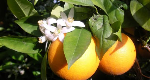 Oranges in yercaud