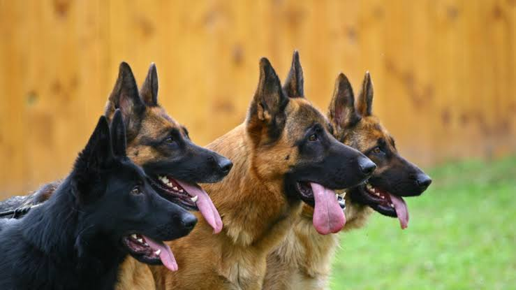 Dogs could be used to detect COVID-19 in humans – UK researchers