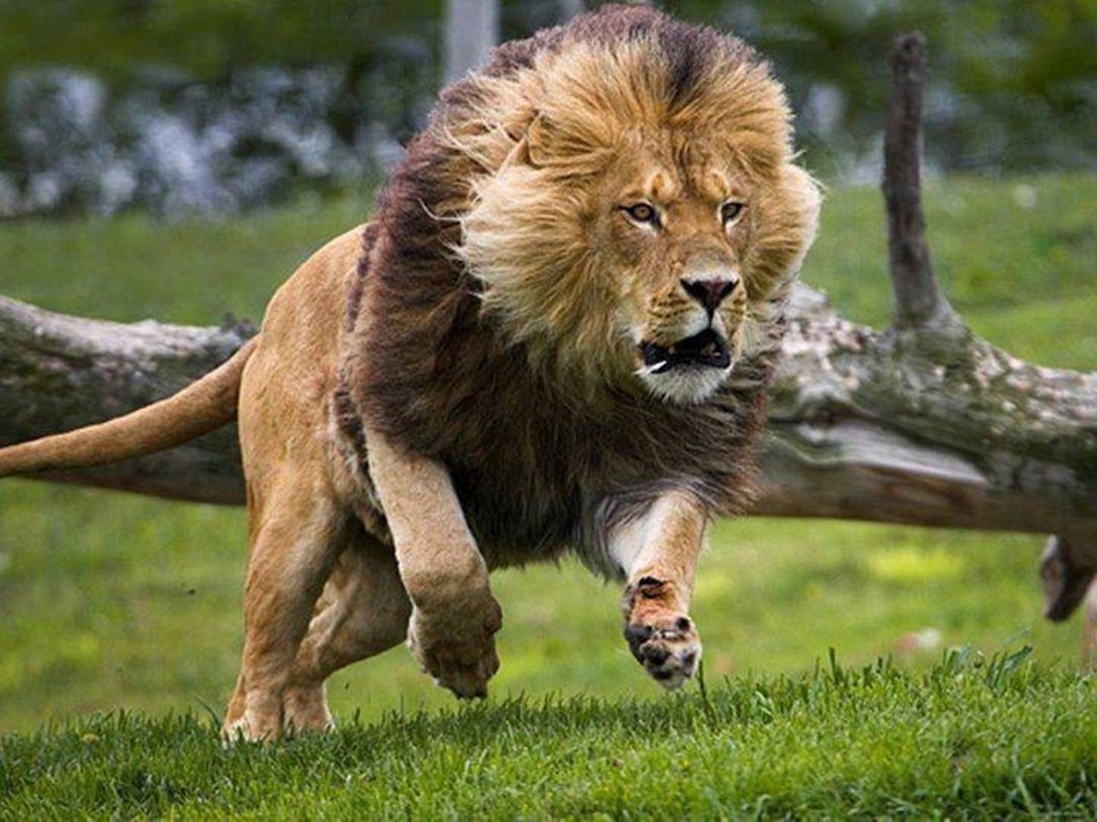 Lion Hd Wallpapers Wallpapers Animal Hq Lion Hd Wallpapers Pictures 4k Wallpapers 2019