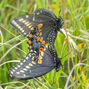 Two butterflies in the grass with their butts touching