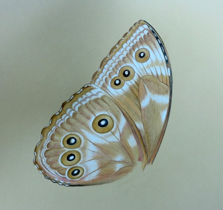 butterfly wing, pencil 2h & coloured