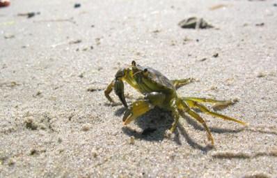 Crab, Denmark