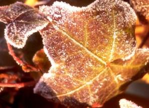 frozen ivy, Norway