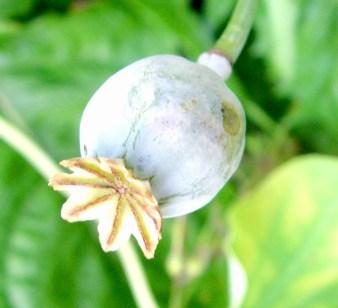 poppy seed pod, Norway