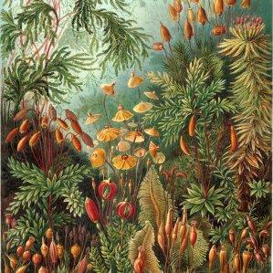 Moss (Muscinae)