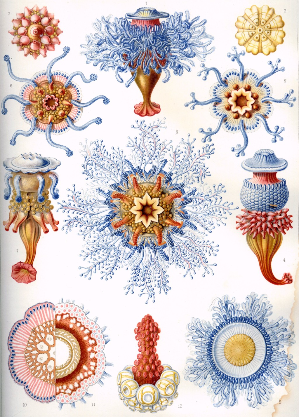 Ernst Haeckel: art and science through the microscope