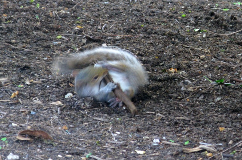 squirrel playing with stick
