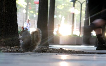 urban squirrel