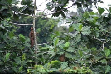 Domaleh, of the Sayah clan, climbs a breadfruit tree to dislodge its fruit with a long stick.
