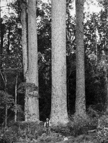 Person among large Kauri trees