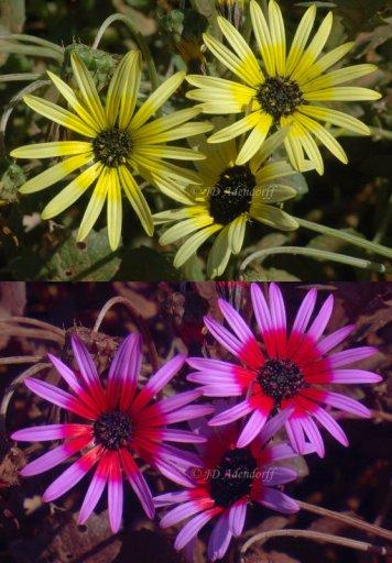 Arctotheca calendula in Ultraviolet
