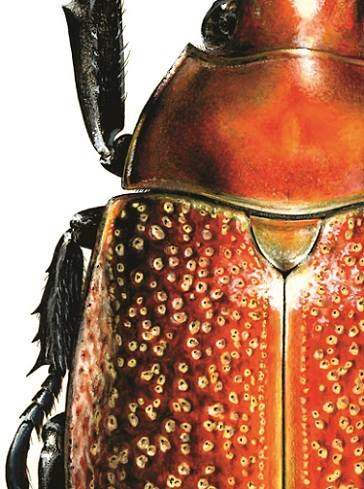 Beetle, Carim Nahaboo