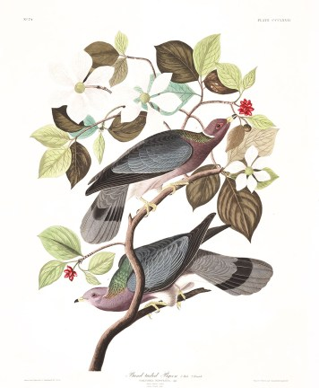 Band Tailed Pigeon